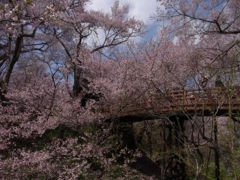 高遠桜、27,4/18,   1