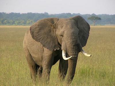 africaelephant.jpg