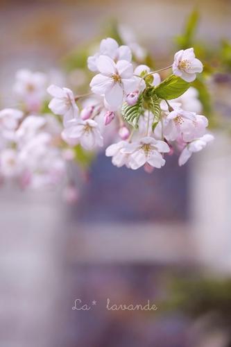 sakura-ty-2.jpg