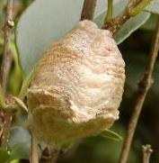 大カマキリ卵1