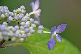 2015603紫陽花