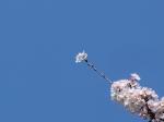 新年度 2015 桜