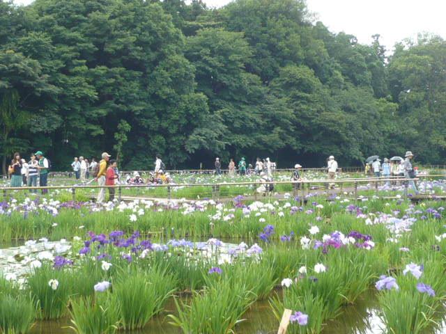 北山公園菖蒲祭り