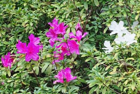 ハイビスカス+白い花 DSC03560