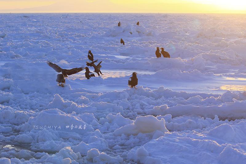 流氷とオオワシ 2
