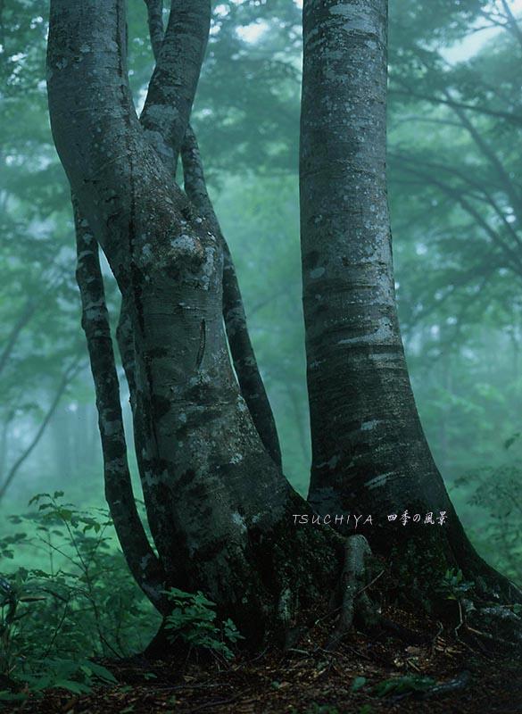 雨のブナ林 2