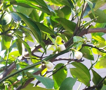 S20130520柚子のつぼみ