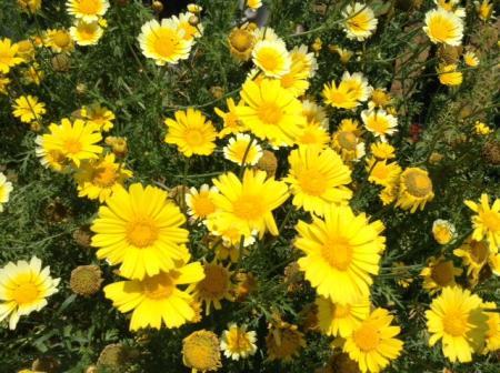 S20150531豊受春菊