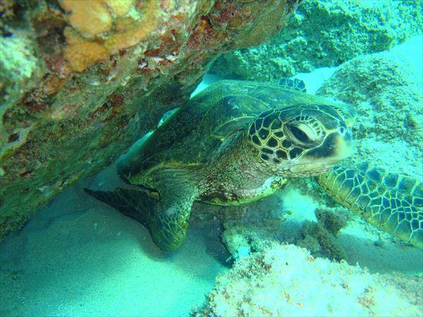ハワイ ダイビング コオリナ カメ
