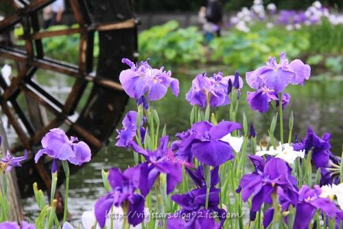 花しょうぶの池