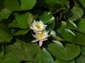 早咲きの蓮1