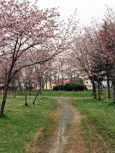 桜並木ですよ。