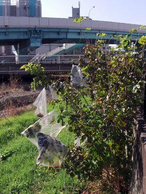 空堀川河川敷の桑の木の謎のビニール袋02