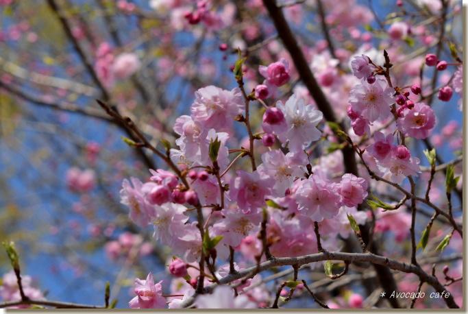 枝垂れ桜、下から