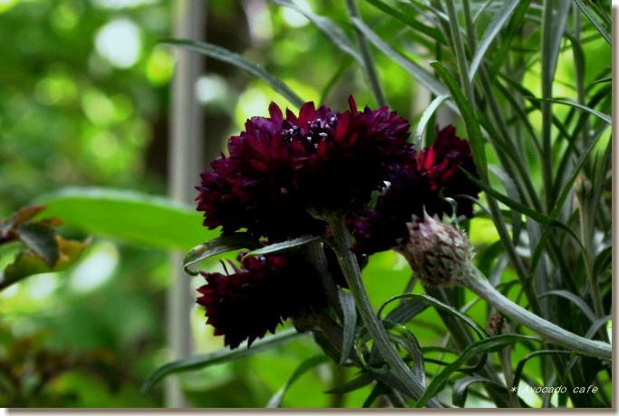 矢車草の花1