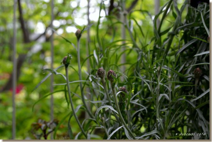 矢車草蕾2