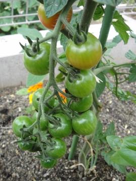 20150620ミニトマト