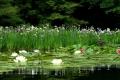 睡蓮と花菖蒲の競演
