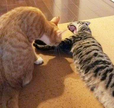 トラ兄ちゃんの毛づくろいが気持ちよくて、大きなあくびが…