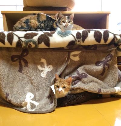 ホットカーペットが敷いてあるコタツの中には猫達がびっしりいます