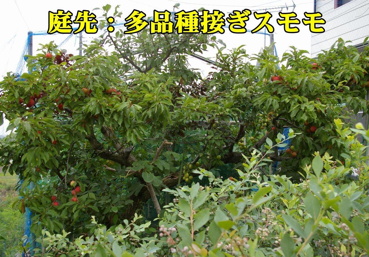 1sumomo150616_012.jpg