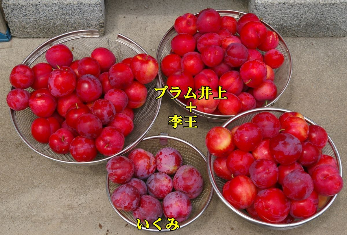 1sumomo150622_022.jpg