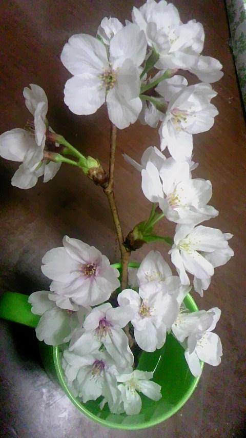 2015 sakura