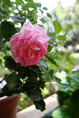 雨上がりのバラ