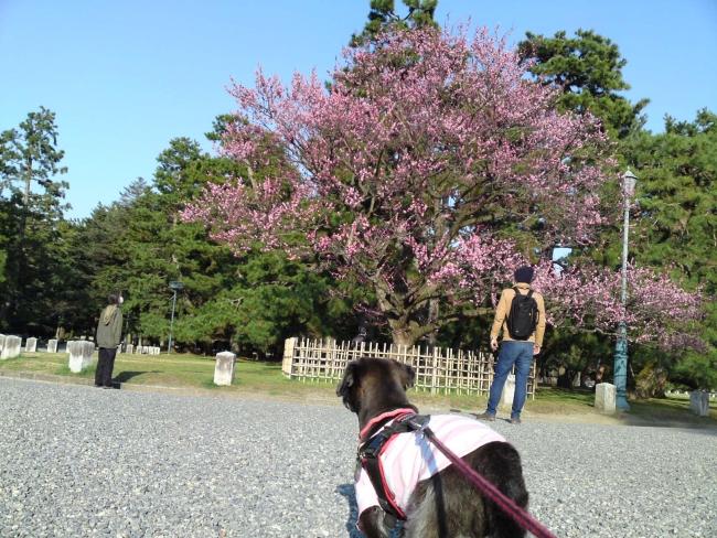150317御所さんぽ①黒木の梅