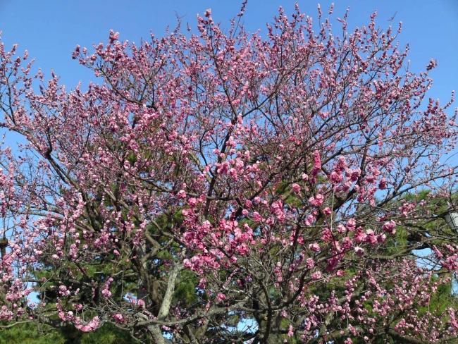 150317御所さんぽ②黒木の梅