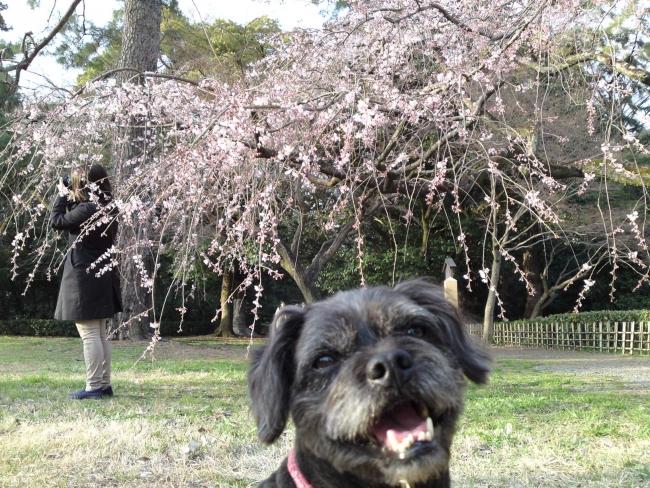 150321御所さんぽ②御苑北の枝垂れ桜とふうた