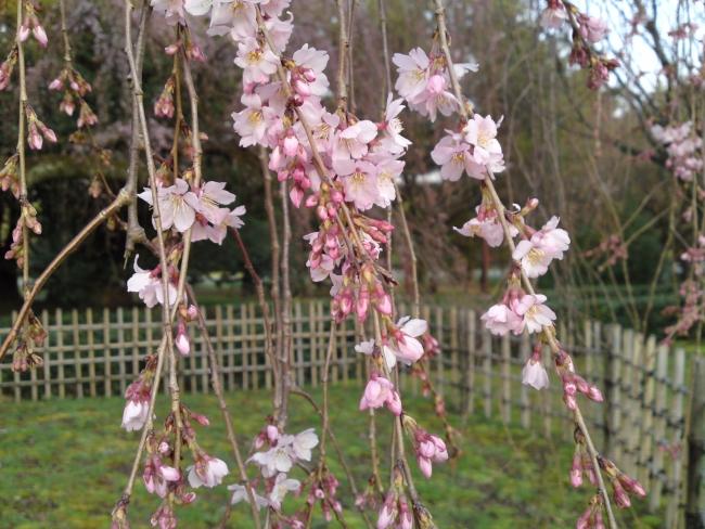 150321御所さんぽ④糸桜