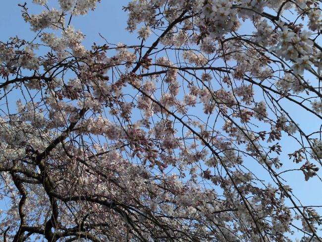 150321御所さんぽ①御苑北の枝垂れ桜