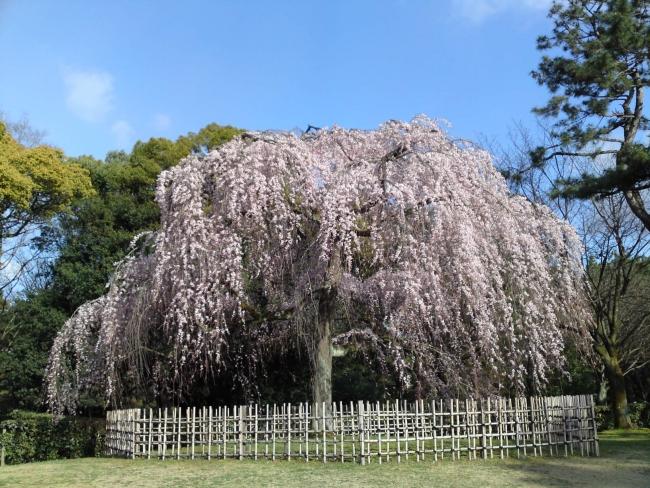 150324御所さんぽ①糸桜