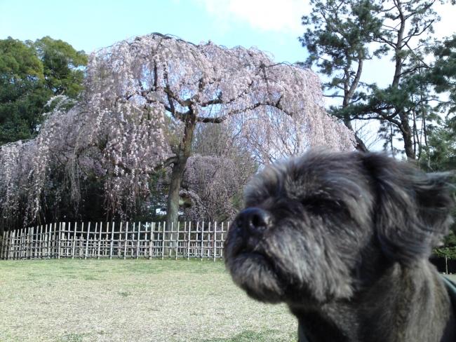 150324御所さんぽ②糸桜とふうた