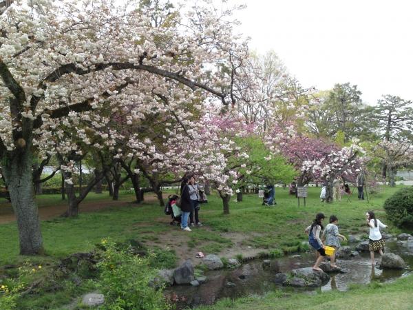 150416御所さんぽ④出水の小川の八重桜