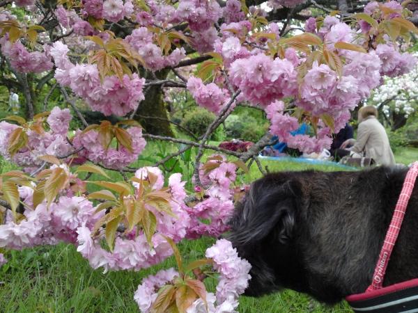150416御所さんぽ⑤出水の小川の八重桜
