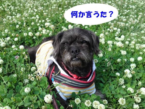 150511御所さんぽ⑤シロツメクサ畑