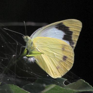 384-ナミエシロチョウ♀裏(産卵)-2015-05-15与那国-7D2_9272