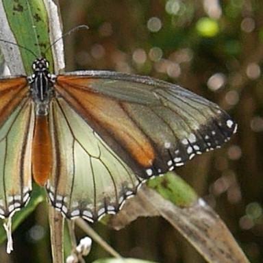 384-スジグロカバマダラ♀(透過翅型)-2015-05-18-P1080478