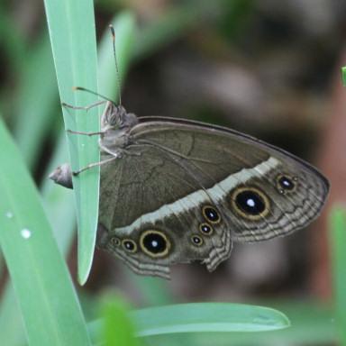 384-リュウキュウヒメジャノメ産卵-2015-05-20-7D2_2725