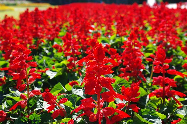 サルビアの花(千葉市)