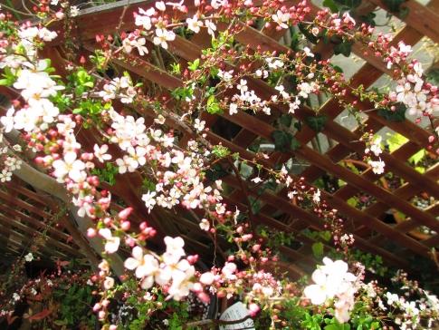 庭の山野草 011-001