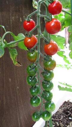 トマトの中間経過 002-001