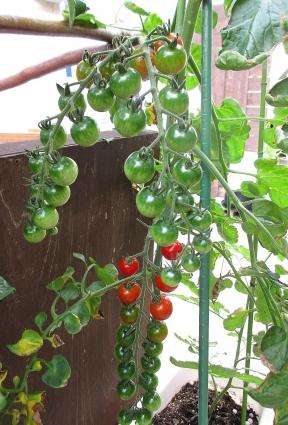 トマトの中間経過 001-001