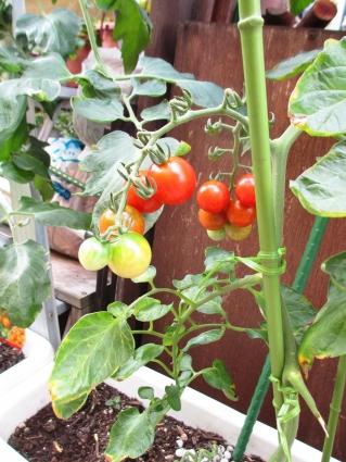 トマトの中間経過 003-001