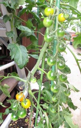 トマトの中間経過 007-001