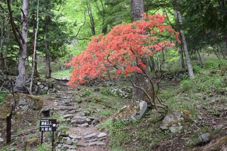 4神社跡のヤマツツジ