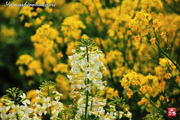 s-20150329-昆山菜の花畑036