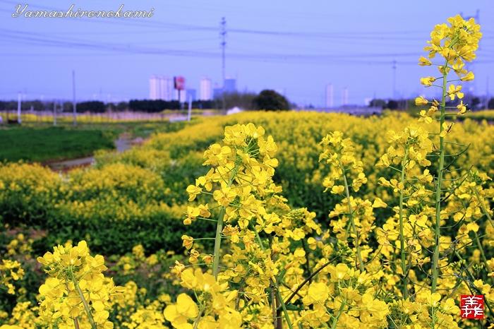 s-20150329-昆山菜の花畑028